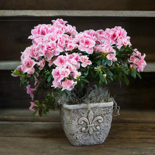 Azalea- Best Indoor Plant With Low Light