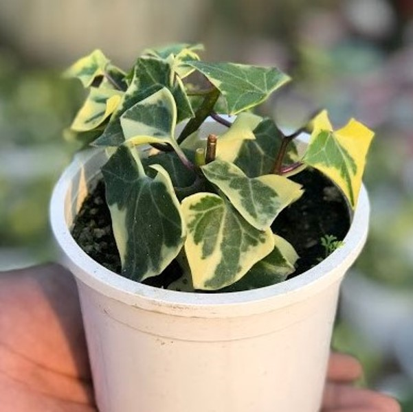 What Are The Best Indoor Plants To Grow In India?- English Ivy