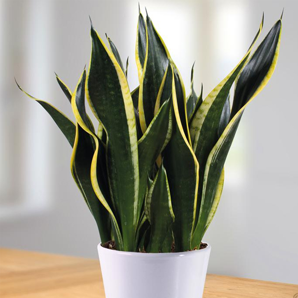 Snake Plant- Top Air-Purifying Plant